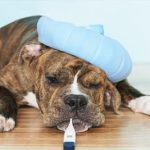 чума собак симптомы