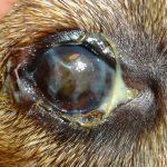 симптомы чумы у собак