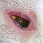 конъюнктивит у кошек и собак причины