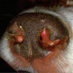 лечение чумы у собак