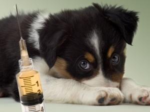 вакцина против чумы собак