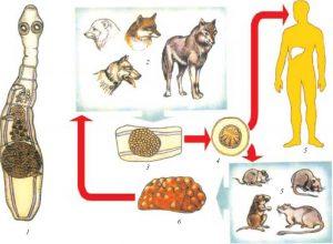 глисты у пушных животных