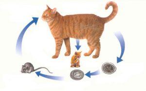 Заражение глистами животных: кошек и собак