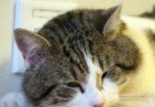 гнойные глаза у кота
