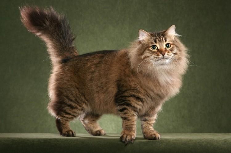 как справиться с колтунами у длинношерстных кошек?