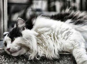 как справиться с колтунами у кошки