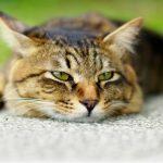 когда кастрировать кота?