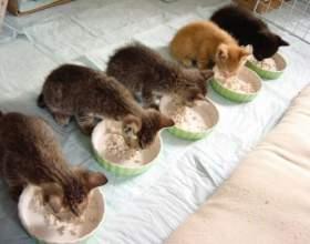кормление котят после стерилизации кошки