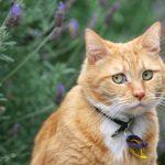кастрировать ли кота?