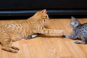 драка между кошкой и котенком