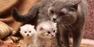 сколько раз в году рожает кошка
