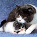 сколько кошка может рожать?