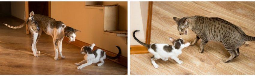 воспитание котят мамаой-кошкой