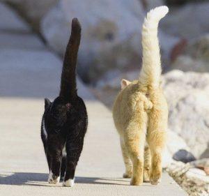 отличия кошки от кота