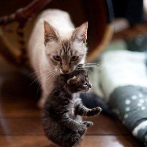 кошка прячет котят в укромное место