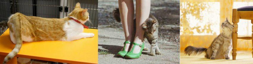 как понять, что у кошки течка
