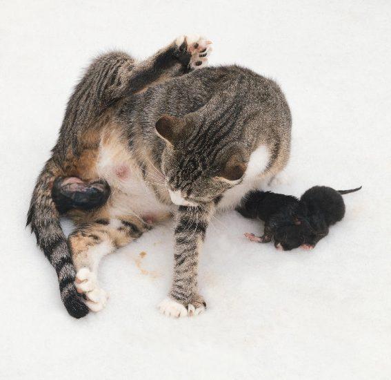 сколько длятся роды у кошки