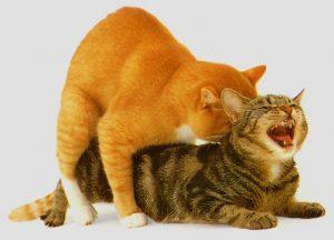 брачный период у кошки сколько длиться
