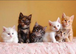 количество течек у кошки в году