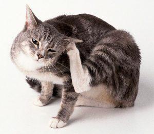как вывести блох у беременной кошки