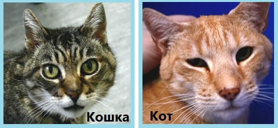 как отличить кота от кошки по цвету шерсти
