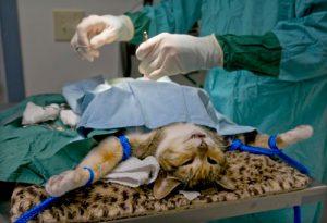 стерилизация кошки или хирургический метод контрацепции