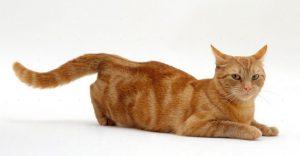 как помочь кошке при течке