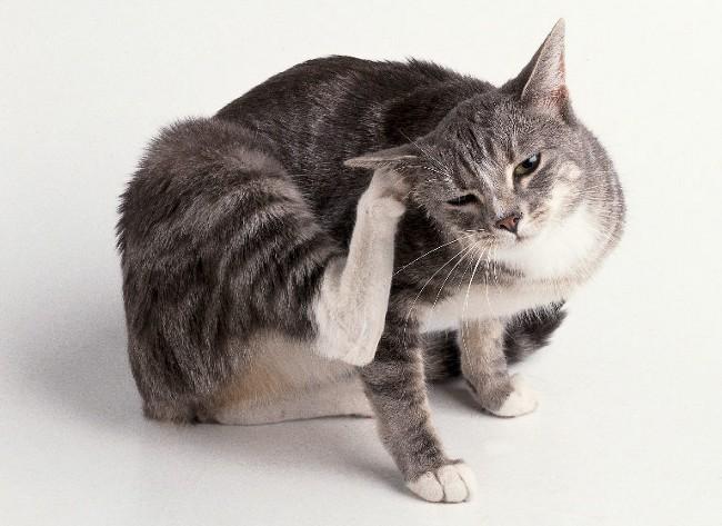 причины, почему кошка расчесывает уши