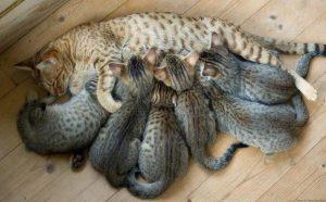 какое количество котят кошка может родить в первый раз