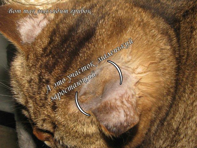 как выглядит у кошек заражение