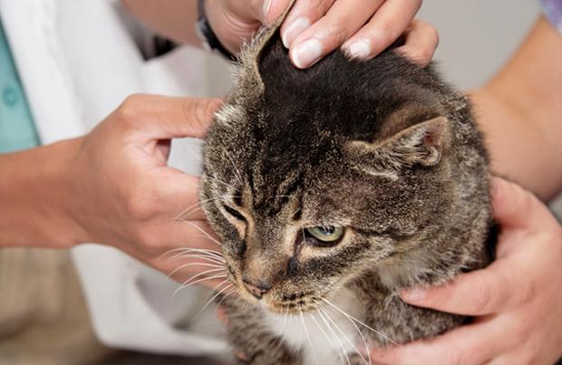 ушной клещ у кошки лечение