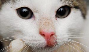 что собой представляет лишай у кошек