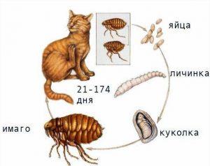 сколько живет блоха на животном