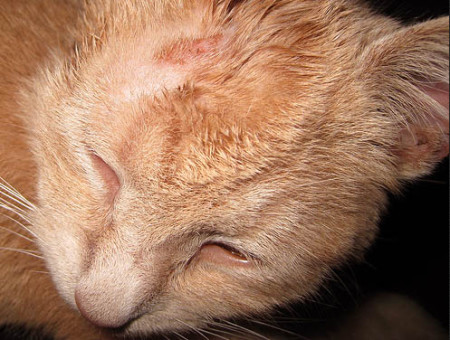 какими препаратами лечить лишай у кошек