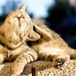 методы от блох у котов