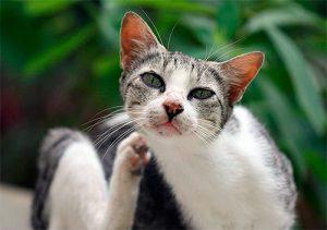 причины вылизывания шерсти у кота
