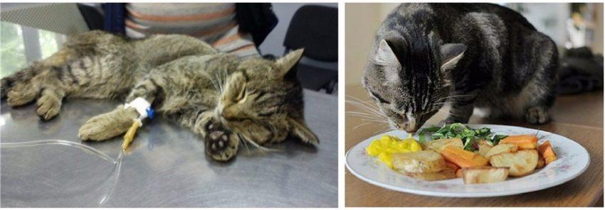лечение увеличенной почки у кота