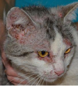другие причины бугорков на ушах у кошки