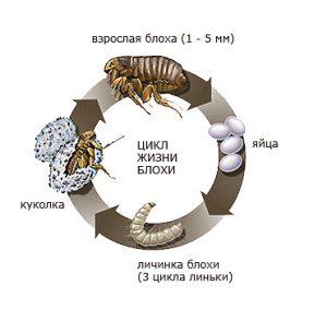 цикл развития кошачьей блохи
