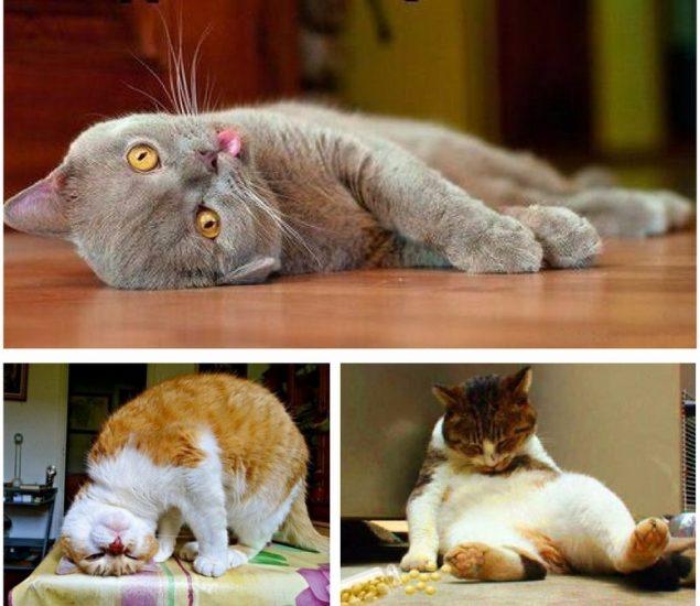 кошки после валерианыы
