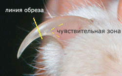 место обрезания когтя у кошки