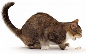 почему кота рвет