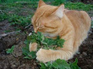 действие валерианы на кошку