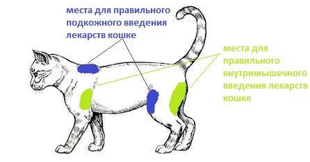 куда вводить лекарство кошке
