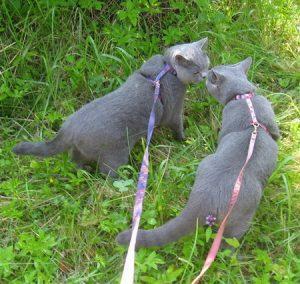 кошки на прогулки