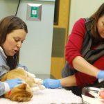 что делать, если у кошки вскрылась опухоль