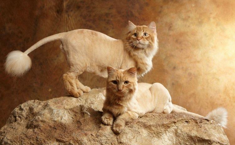 стрижка Французский лев