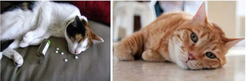 отравление у кошки