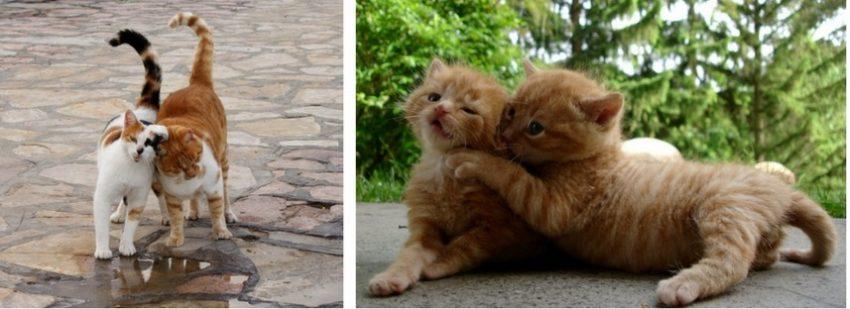что делать, чтобы помирить кошек