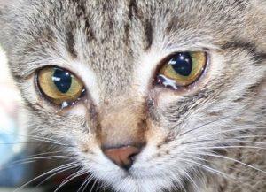 причины слезотечения у кошек